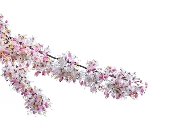 야생 히말라야 체리 벚나무 cerasoides 피