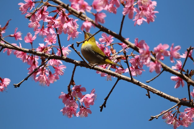 Wild himalayan cherry and tiny bird