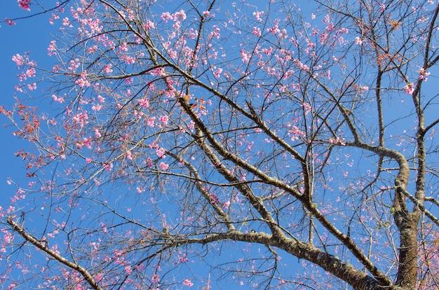 푸른 하늘 가진 야생 히말라야 벚꽃