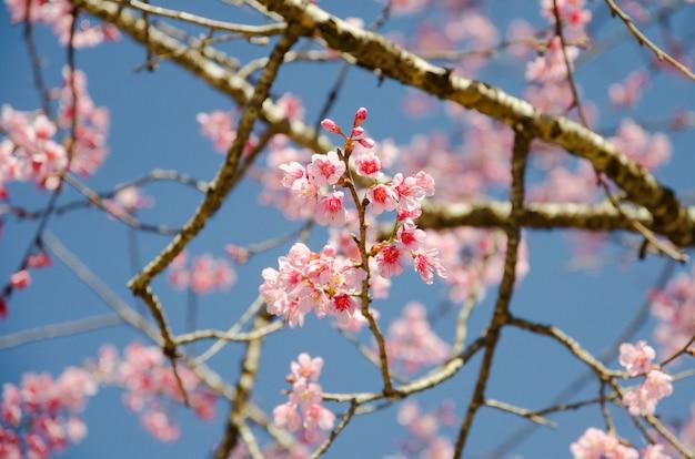야생 히말라야 벚꽃