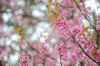Дикая гималайская вишня