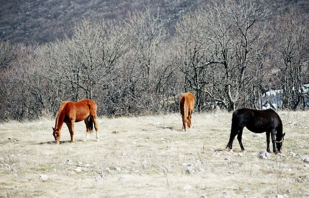 Wild horses in the autumn forest