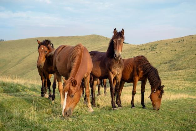 山の牧草地で野生の馬の群れが放牧