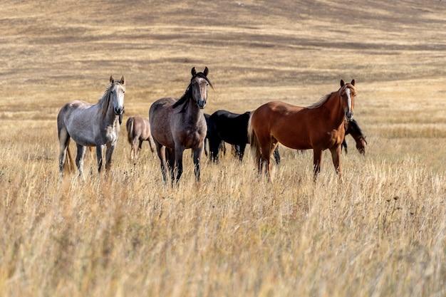 乾燥した草原の野生の馬