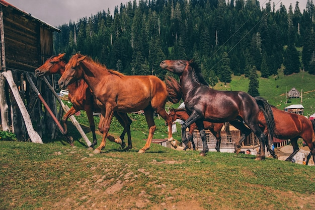 山で競う野生の馬