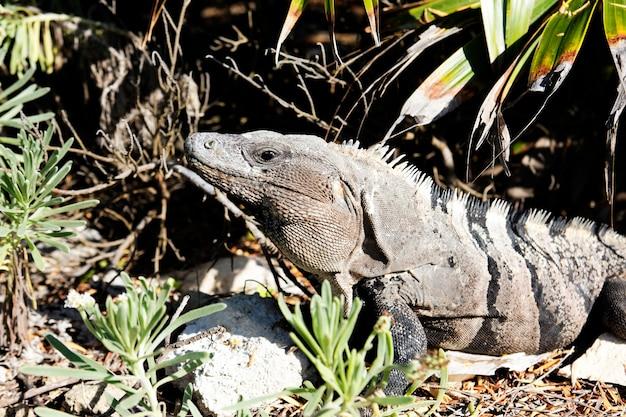 メキシコの太陽の下で自然の野生のイグアナ