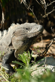 Wild iguana in the nature