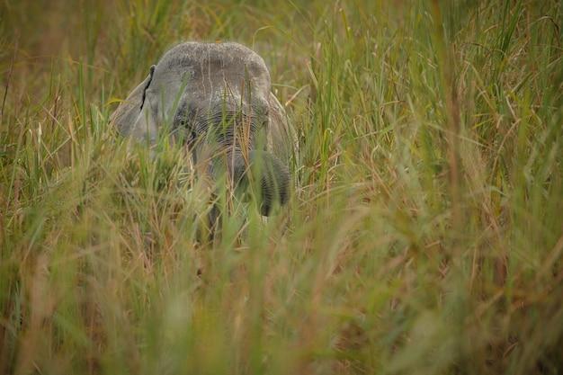 Дикий индийский слон самец с естественной средой обитания в северной индии