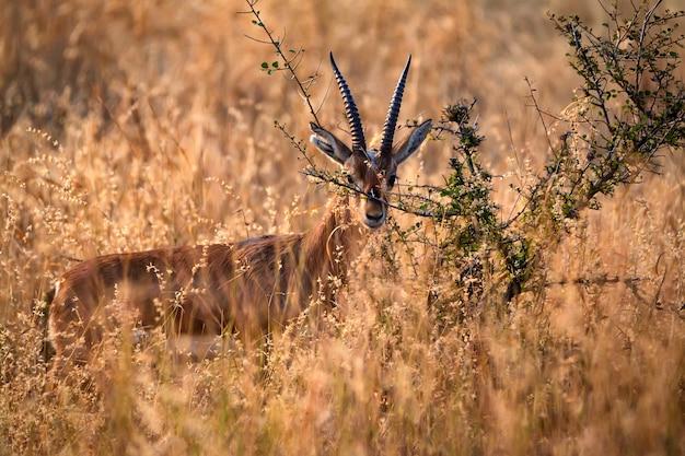 野生のインディアンガゼルまたはチンカラ、gazella bennettii