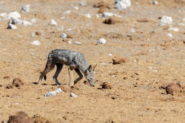 Wild jackal on waterhole in the african savanna