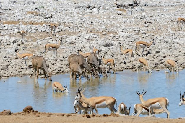 Дикие антилопы куду в африканской саванне