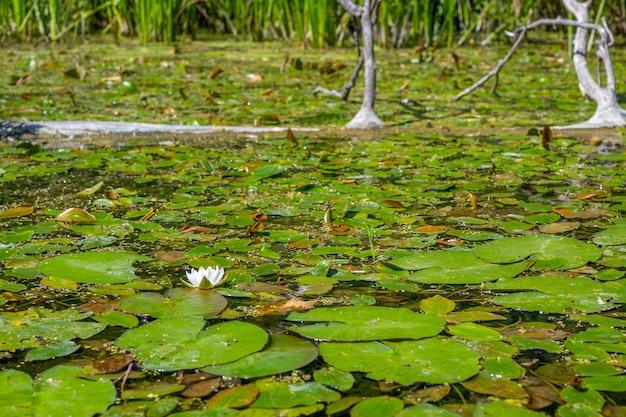 水面を背景に野生のユリの花。野生の自然。細部までこだわった写真。