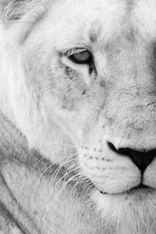 野生の雌ライオンのクローズアップ
