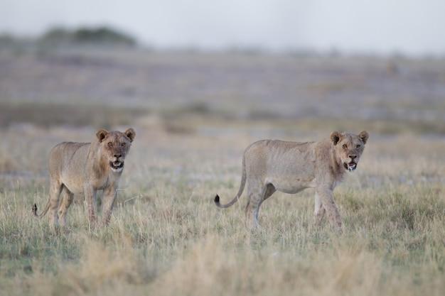Дикие львицы в саванне