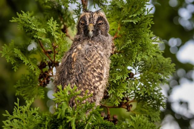 Wild longeared owlet asio otus 초상화 비가 온 후 젖은 새