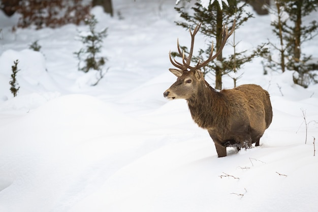 Wild male of red deer looking for food in the snow-covered and frozen woods