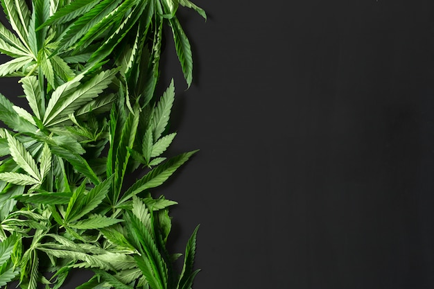 Wild marijuana isolated on the black background