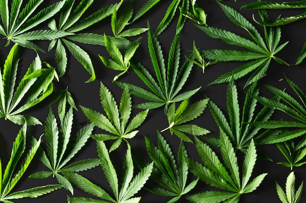 Wild marijuana isolated on the black .