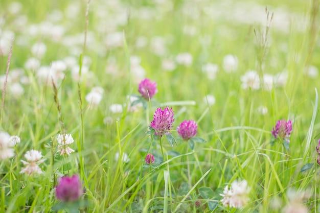 自然の柔らかい日光、夏のシーズン、パステルカラーとロマンチックな雰囲気の秋の屋外ビンテージ写真のフィールドで緑の草に野生の草原ピンククローバーの花。環境の日。選択と集中