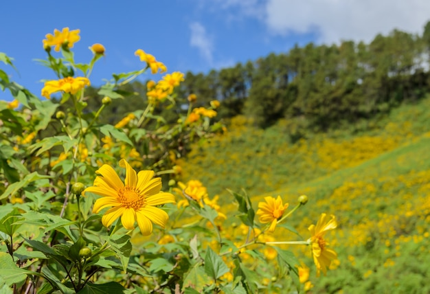 Wild mexican sunflower blooming moutain in meahongson, thailand