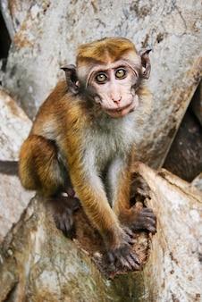Дикая обезьяна в сигирии, шри-ланка