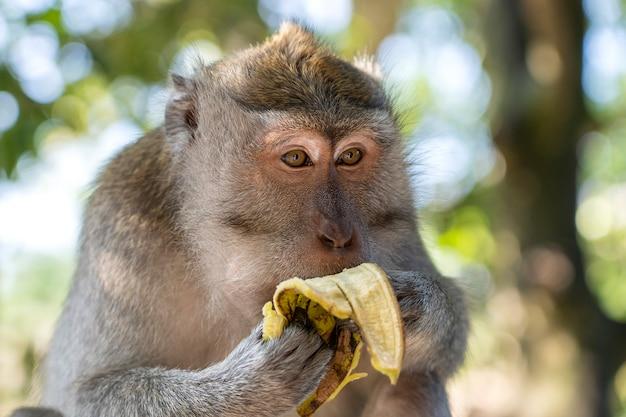 野生の猿は、インドネシア、バリ島、ウブドの神聖な猿の森でバナナを食べます。サルが野生生物環境に住むアジアのモンキーフォレストパーク旅行のランドマークと観光地