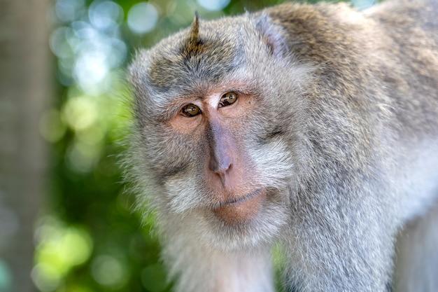 Семья диких обезьян в священном лесу обезьян в убуде, остров бали, индонезия. закрыть вверх