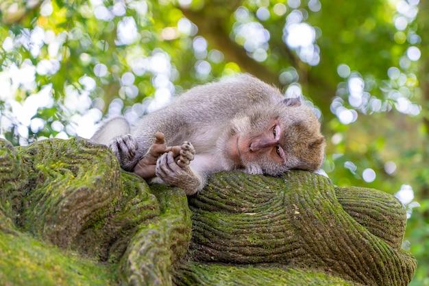 インドネシア、バリ島、ウブドの神聖な猿の森の野生の猿の家族。サルが野生生物環境に住むアジアのモンキーフォレストパーク旅行のランドマークと観光地