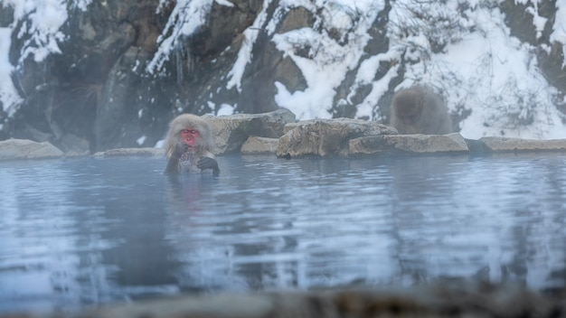 A wild monkey that enters a hot spring. snow monkey bathe and relaxing in onsen of japan. macaca fuscata feeling the body is warm and sleepy. a wild macaque that enters a warm pool