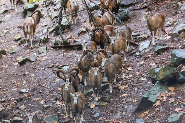 키프로스 숲에서 야생 moufflon