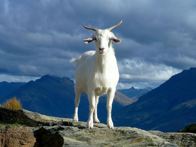 콜로라도 산 봉우리에 야생 산 염소입니다. 프리미엄 사진