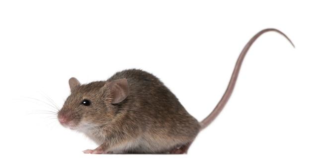 Дикая мышь изолирована