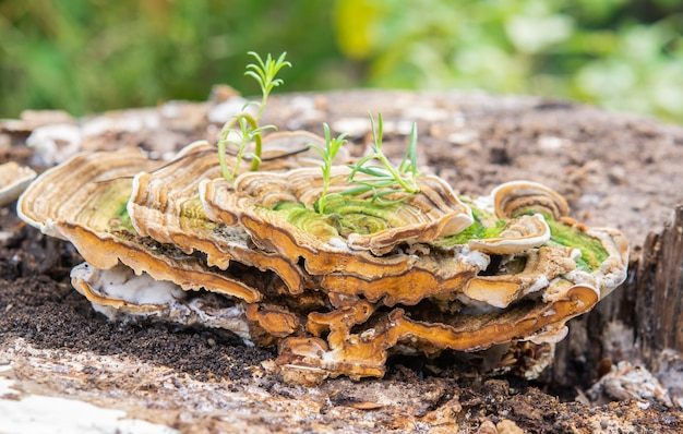 Wild mushrooms on wood and nature morning