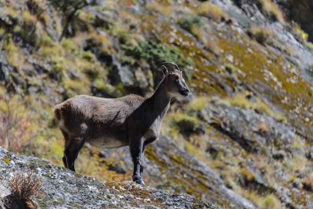 Дикий мускусный олень в непале