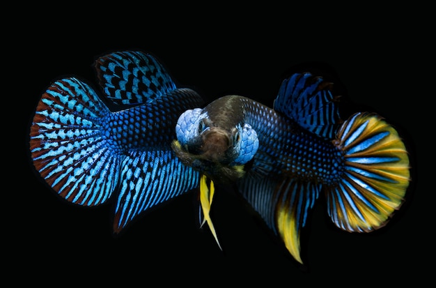 Дикая природа betta splendens или дикие сиамские боевые рыбы с черным фоном.