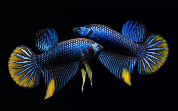 野生の自然ベタの素晴らしさや黒の背景を持つ野生のシャムの戦いの魚。