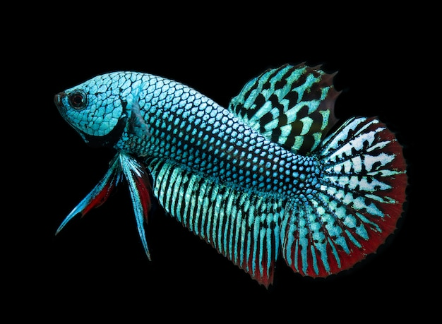Wild nature betta splendens or wild siamese fighting fish.
