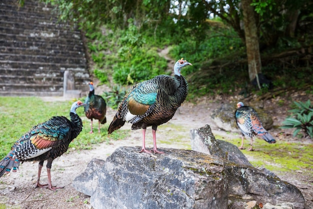 Wild ocellated turkey in tikal national park, gutemala. south america.