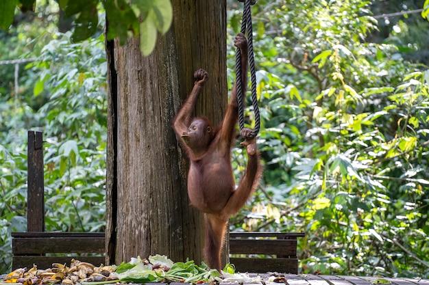 Wild orangutan in rainforest of borneo