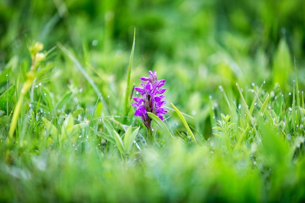 草の中の野生の蘭