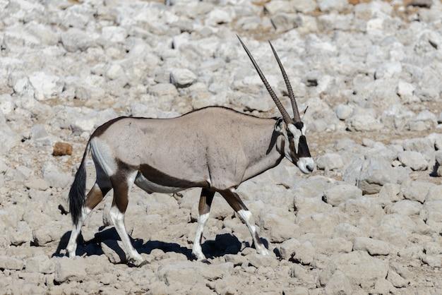 Дикая антилопа орикса в африканской саванне