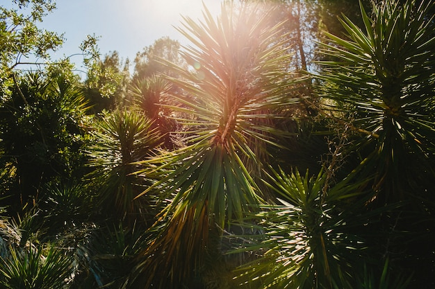 Wild palm trees with sunburst at noon in a mediterranean forest.
