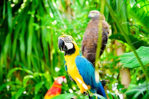 野生のオウムの鳥、オウムのマコウ、ara ambigua。自然の生息地の野生の珍しい鳥。