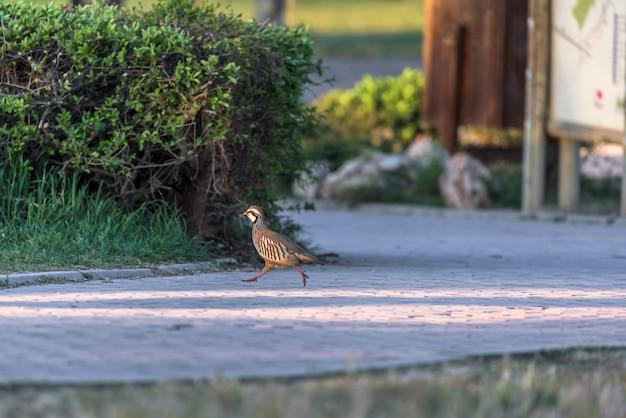 Wild partridge running through a park