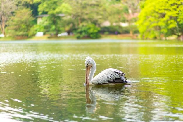 市の湖での野生のペリカン釣り。