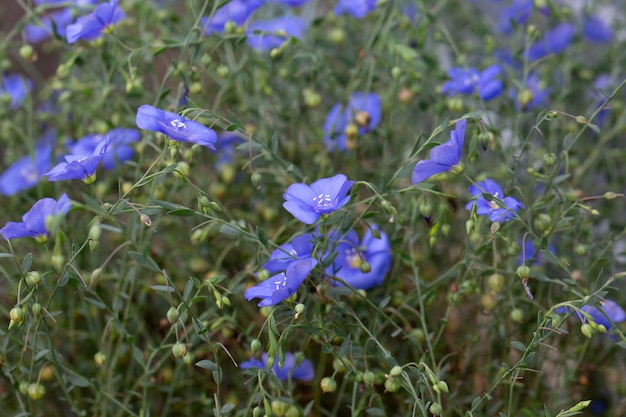 Wild perennial flax (lãƒânum perãƒâ©nne) or sky blue flax blooming in a meadow or in a field.