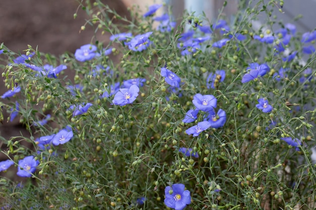 Wild perennial flax (lum perne) or sky blue flax blooming in a meadow or in a field.