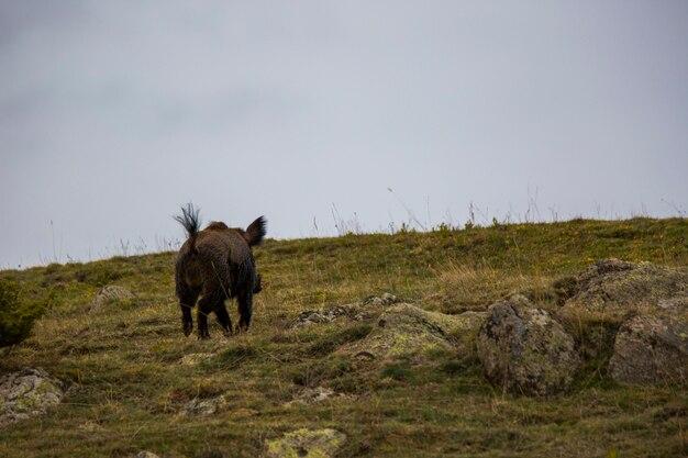 프랑스 피레네 산맥 카프시르의 봄철 야생 돼지