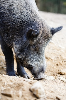 Wild pig in the summer forest