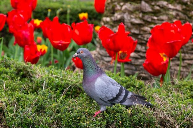 빨간 튤립, 봄 사이 화단에 야생 비둘기